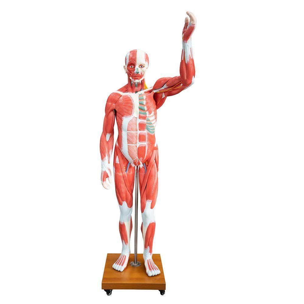 Kaslı Erkek Vücudu Modeli 175 cm 29 Parça